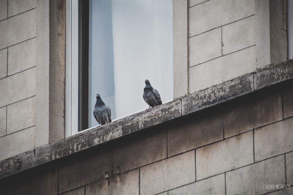 pigeons window