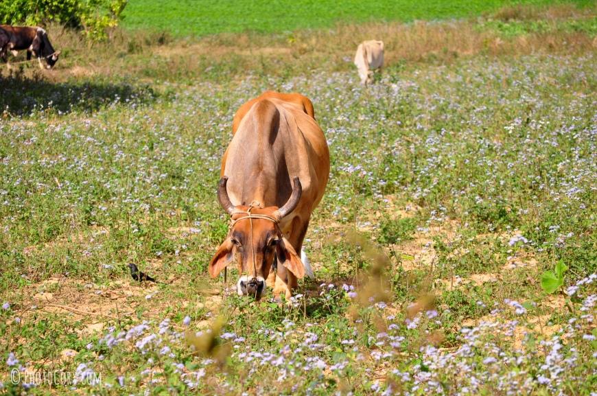 brown cow in vinales cuba