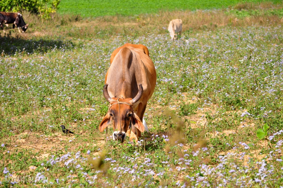 brown cow in vinales cuba