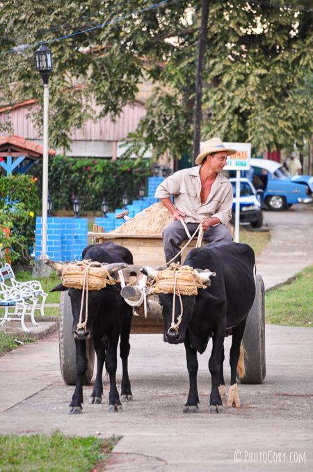 cart with bulls in vinales
