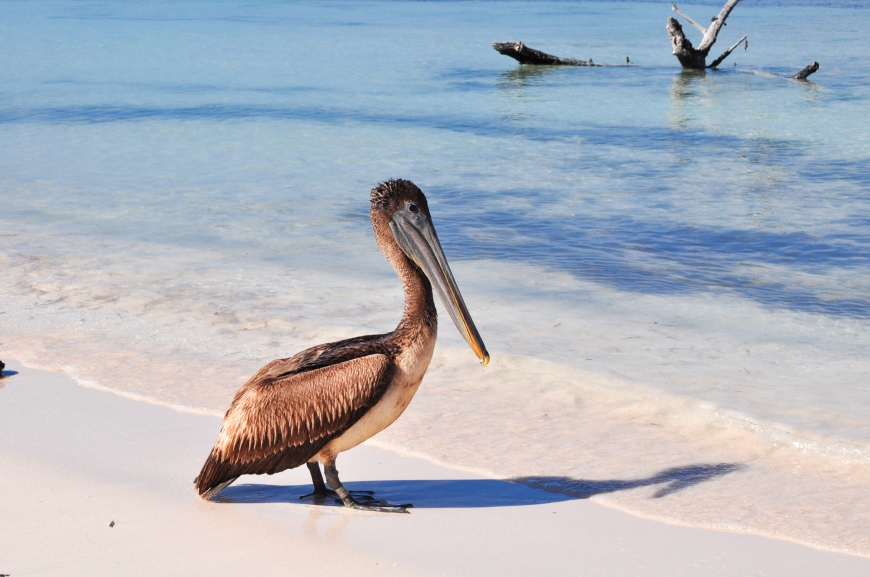 cayo jutias pelican