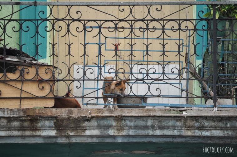 dog balcony havana