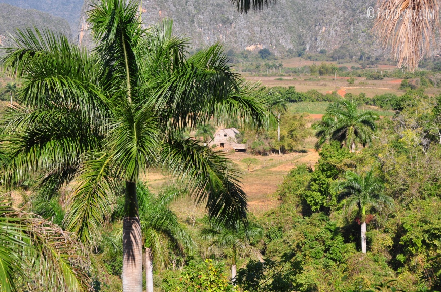 palm tree vinales valley