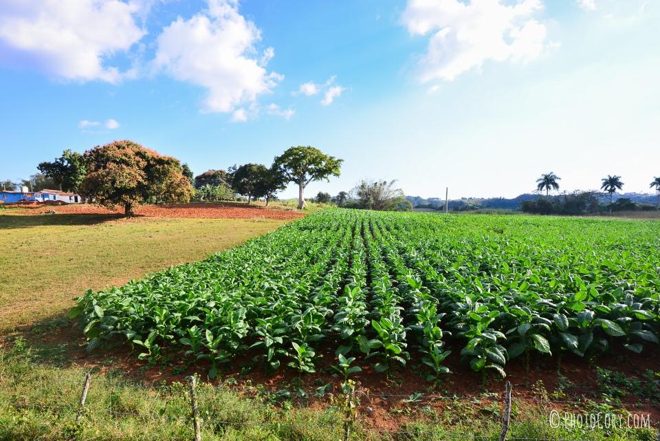 vinales tobacco