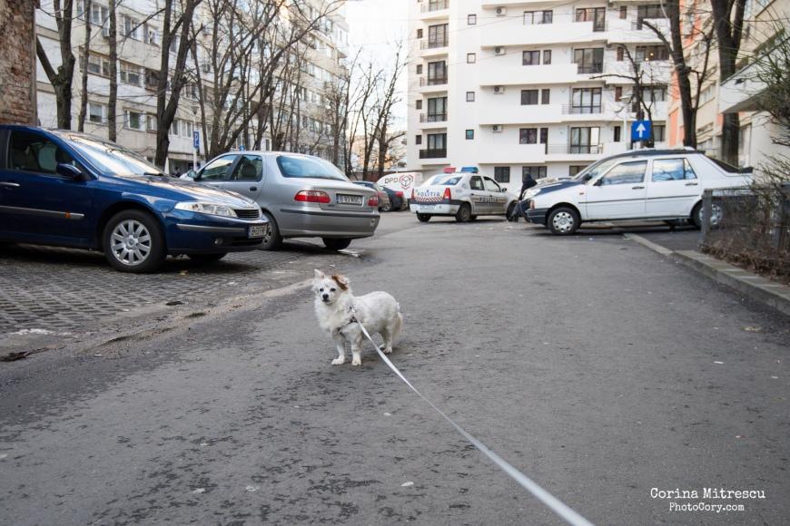 catelus alb la plimbare