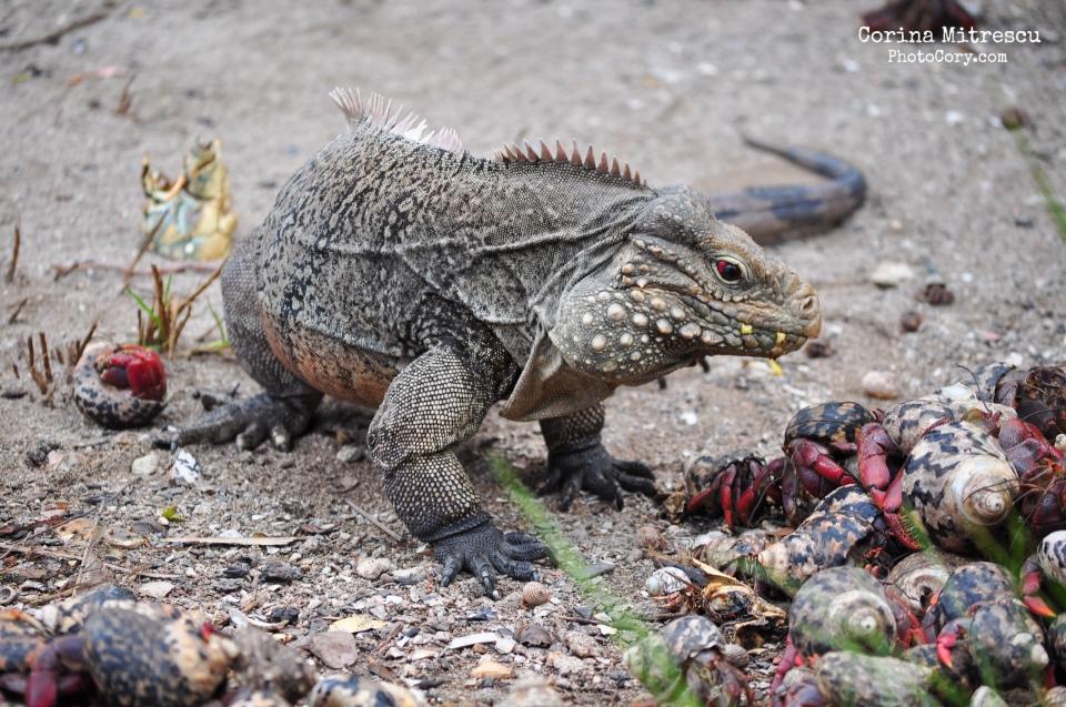 iguana and crabs