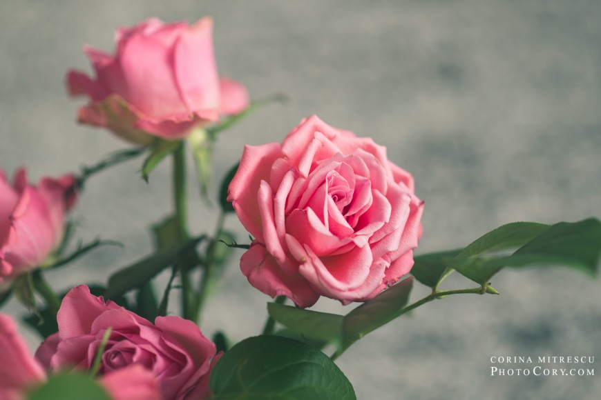 pink roses 2