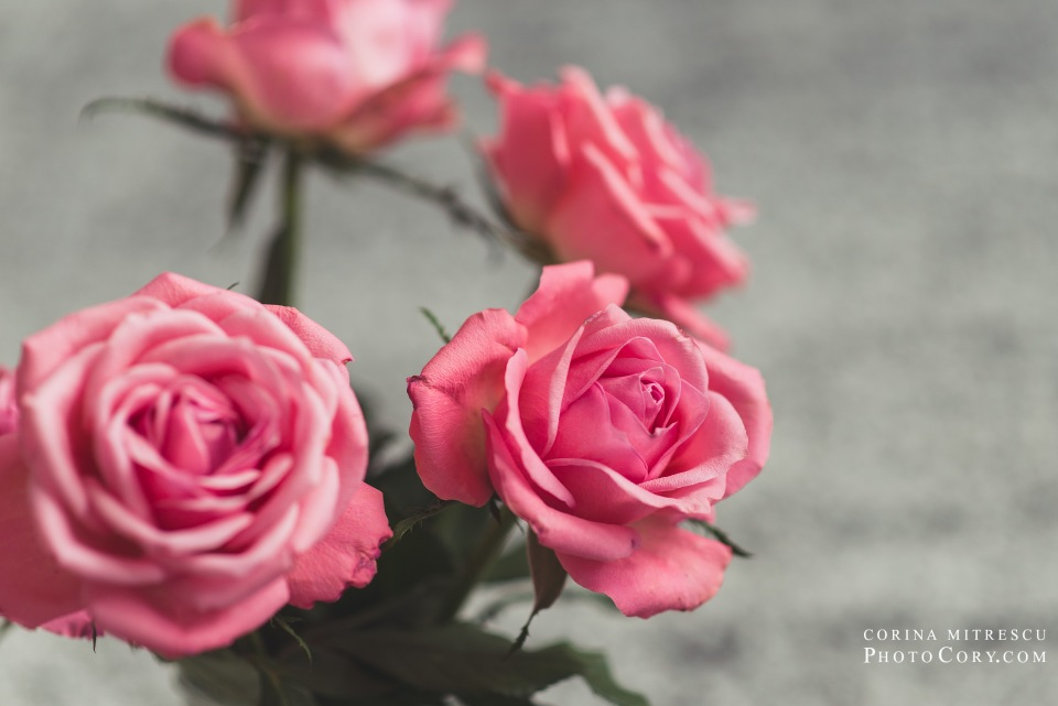 pink roses 4