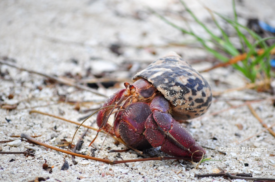 red hermit crab on island carribean cayo blanco cuba