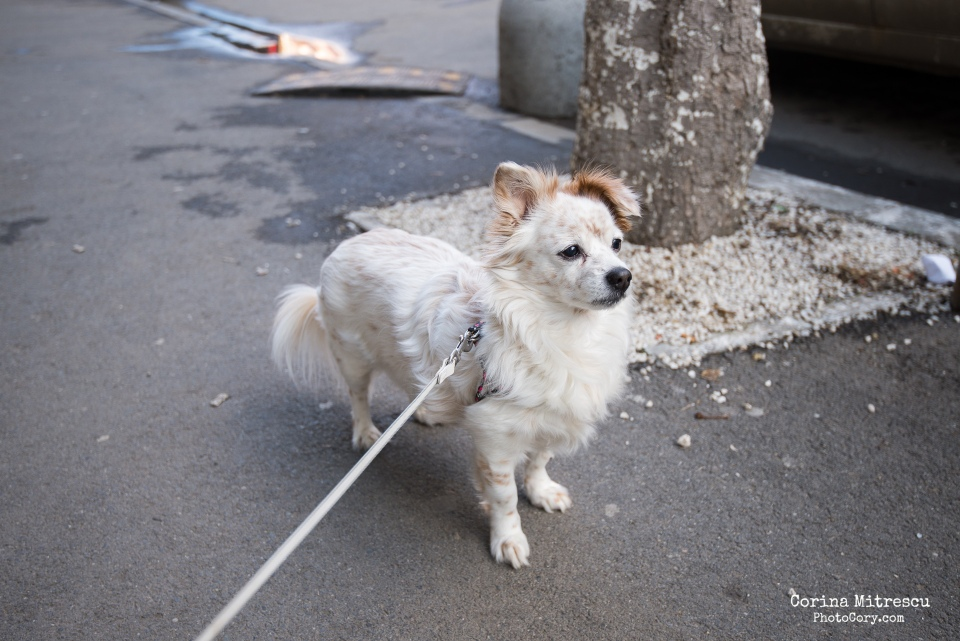small white dog with brown spots and brown years
