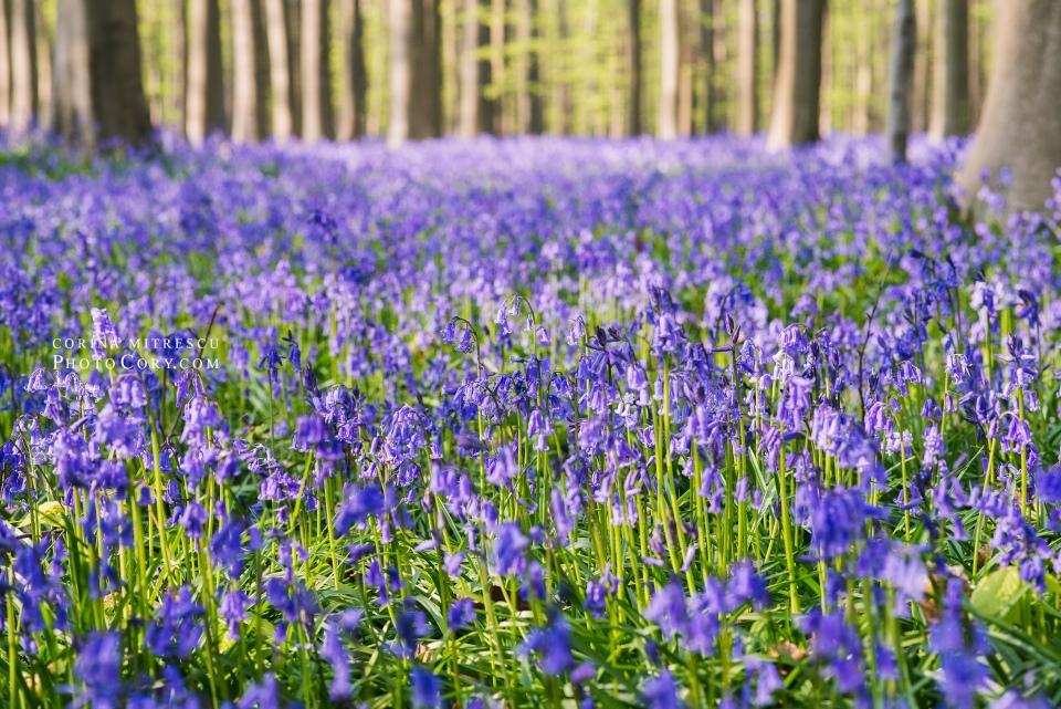 belgium bluebells