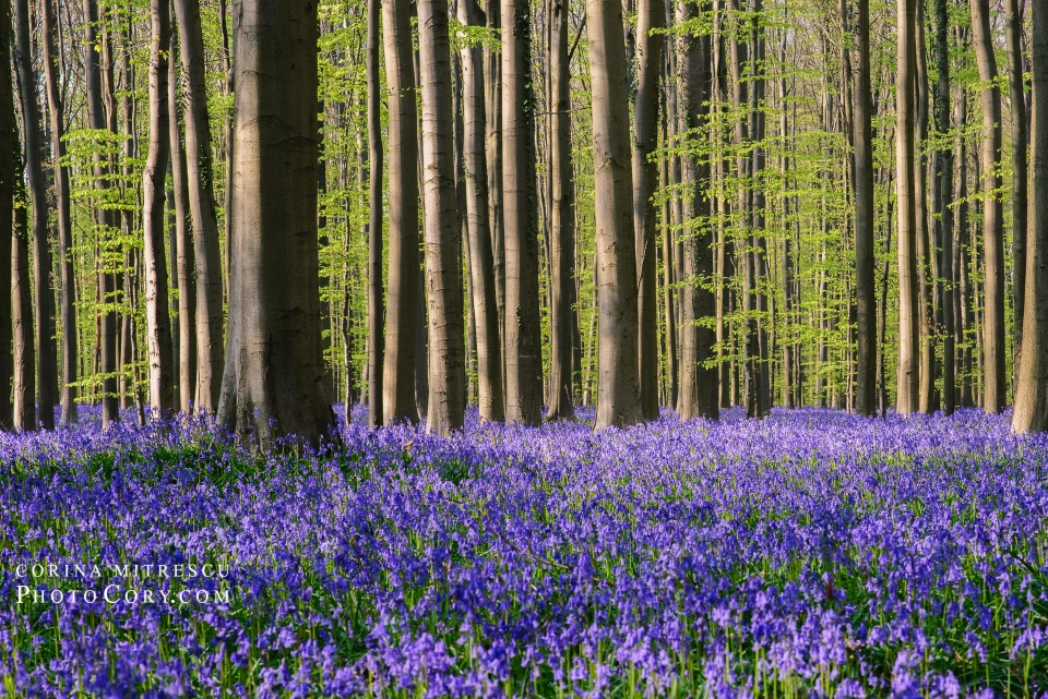 blue carpet forest belgium hallerbos bluebells