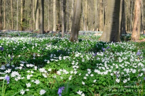 blue forest belgium hallerbos april anemone