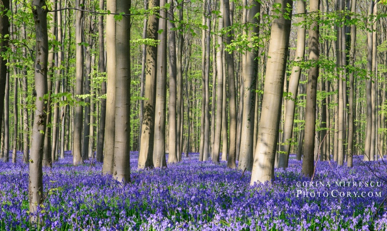 blue forest hallerbos belgium bluebells