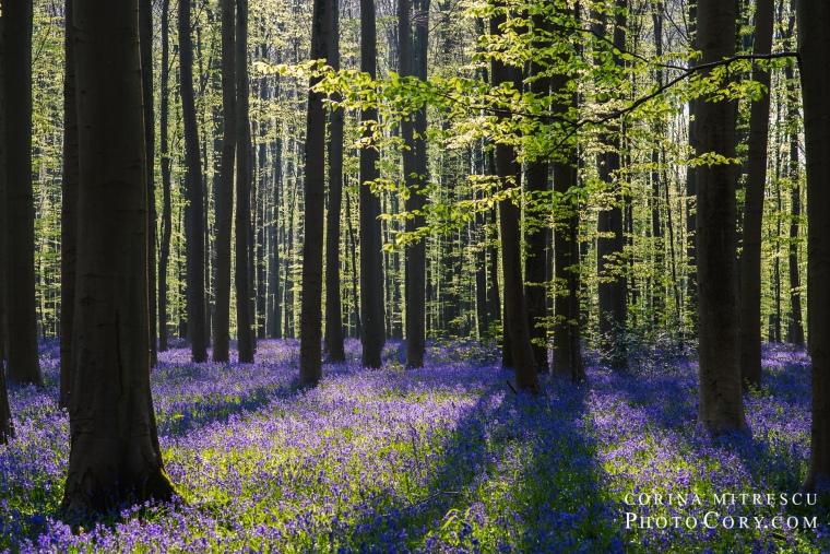 bluebells in hallerbos in belgium blue forest