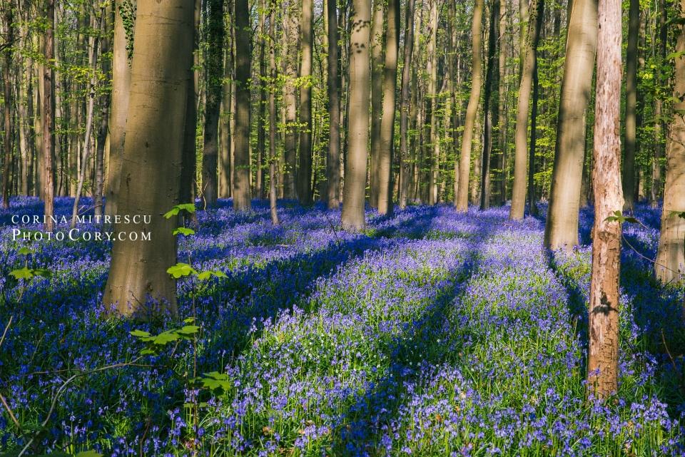 hallerbos belgium blue forest