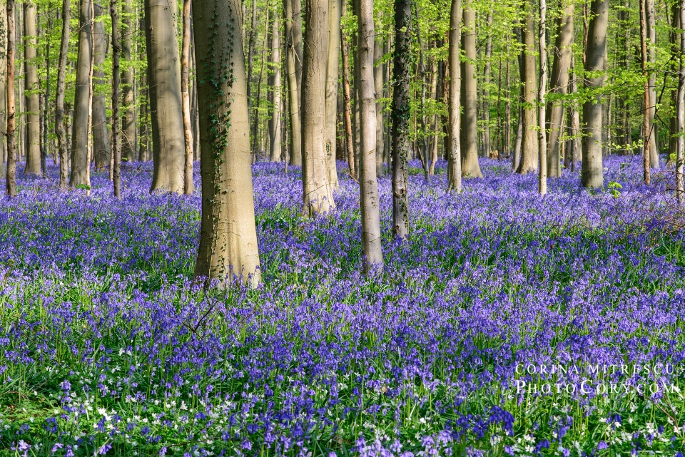 hallerbos blue carpet of bluebells hyacints in belgium