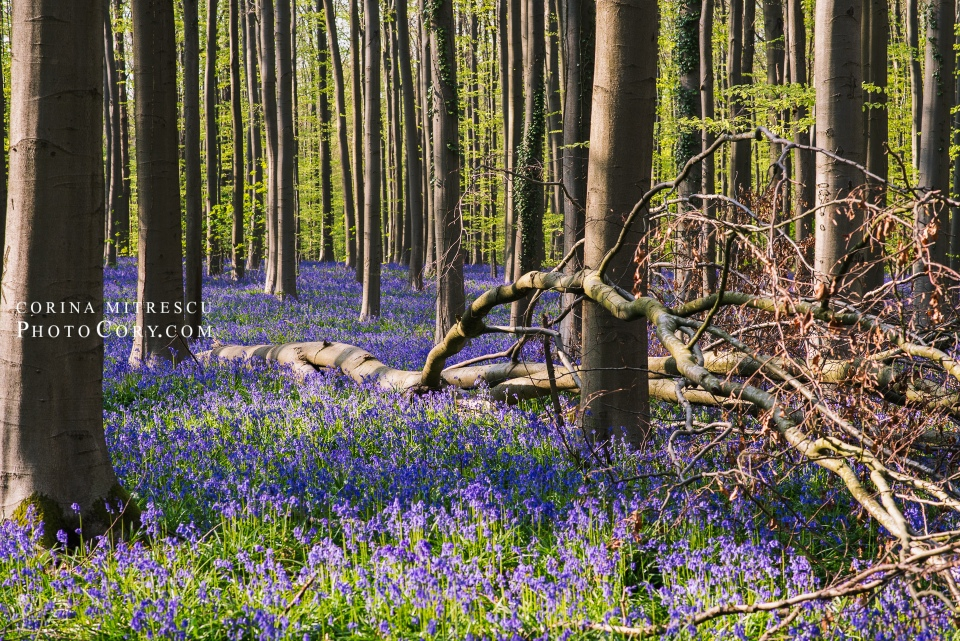 hallerbos blue forest in belgium with bluebells