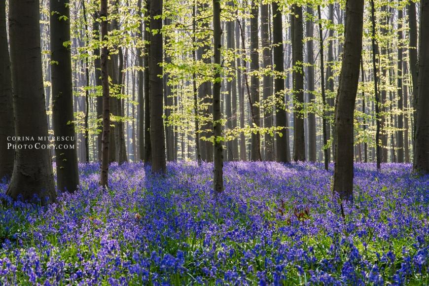 hallerbos bluebells photo sun