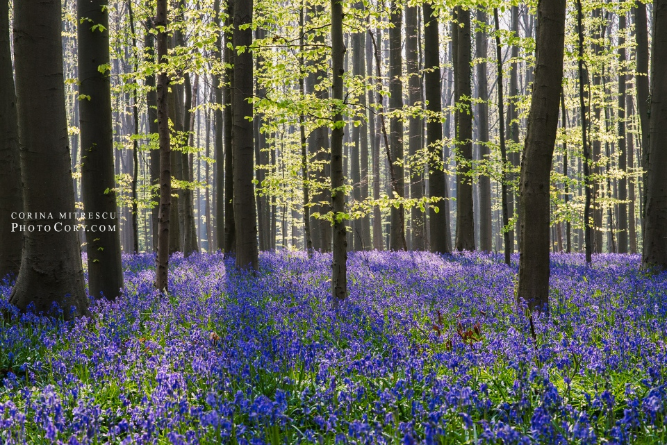 hallerbos bluebells photo sun