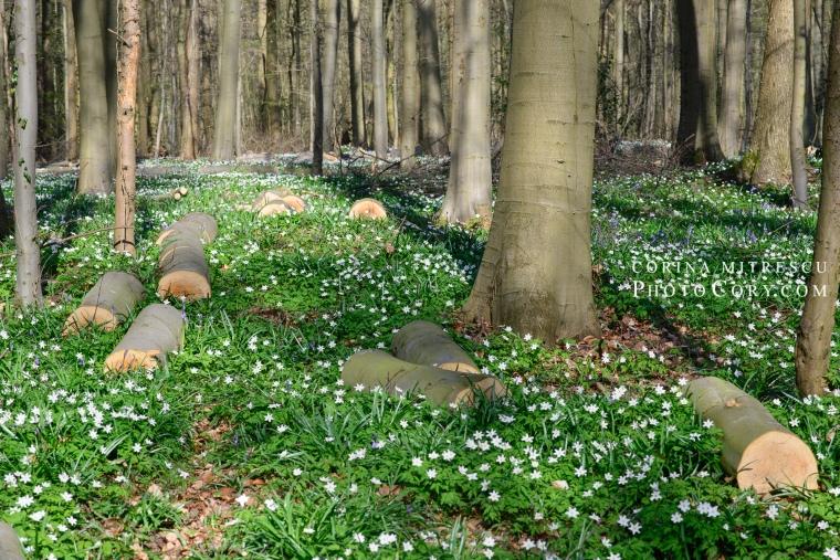 hallerbos forest flowers