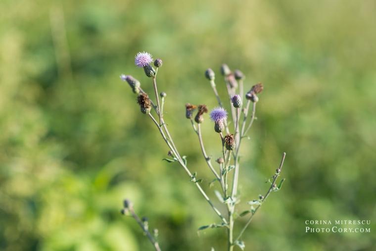 floare de ciulin