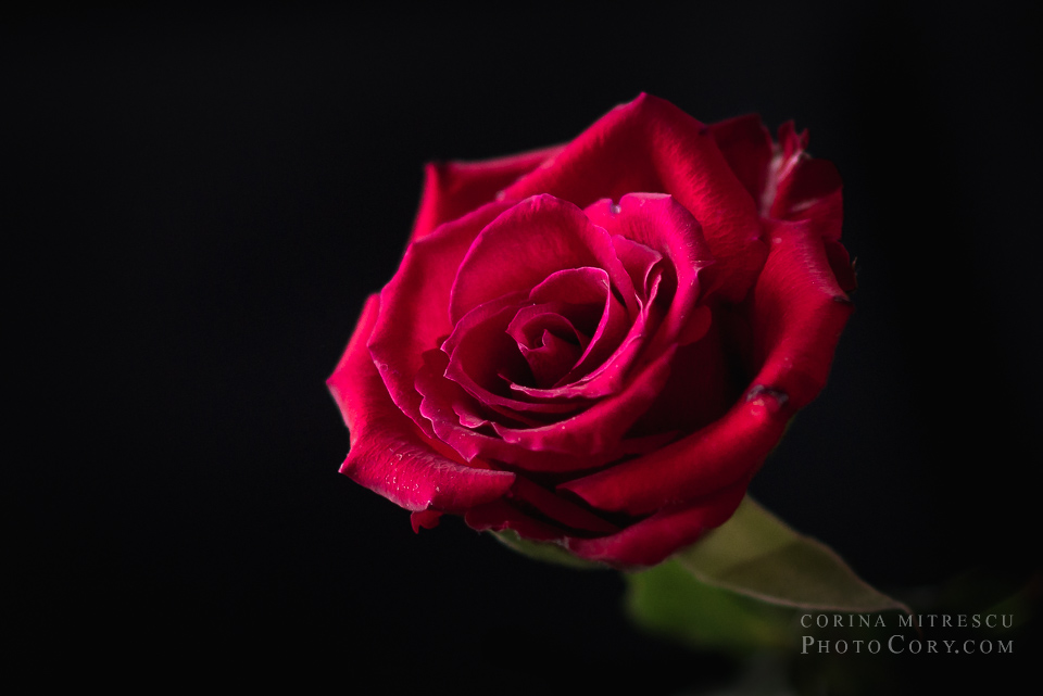 desktop red rose