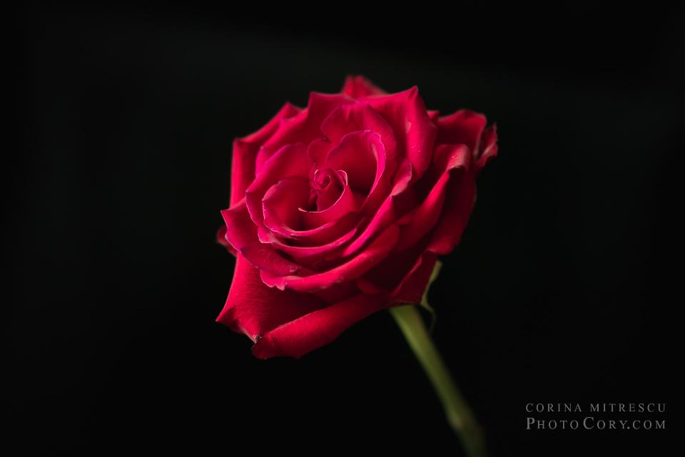 trandafir rosu fundal negru