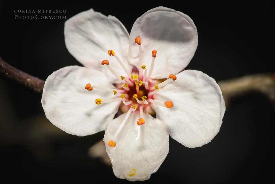 floare alba macro