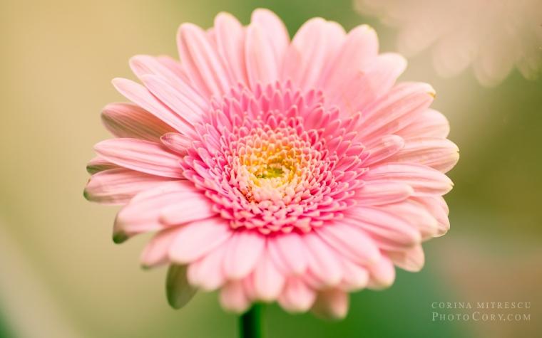 gerbera pink