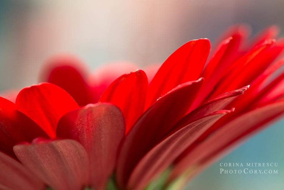 macro gerbera rosie petale detaliu