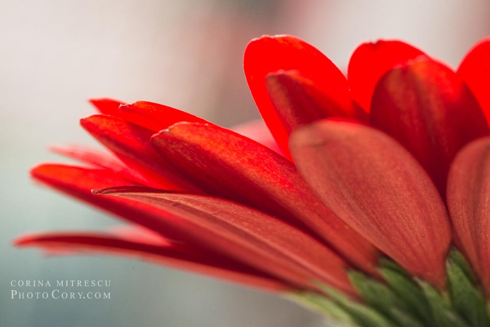 macro red gerbera petals