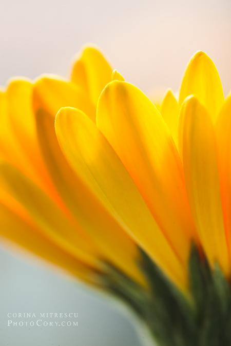 petale gerbera galbena fotografie macro