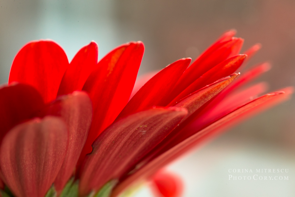petale gerbera rosie