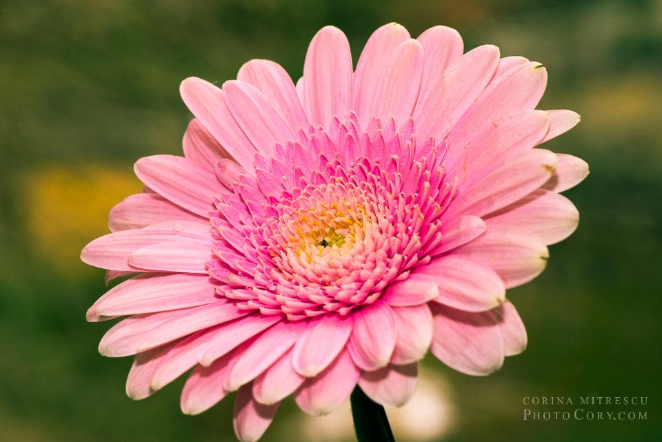 pink gerbera macro (2)