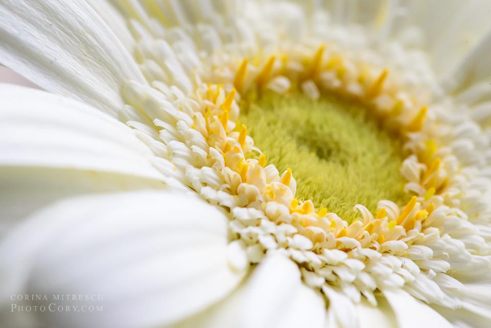 white gerbera macro