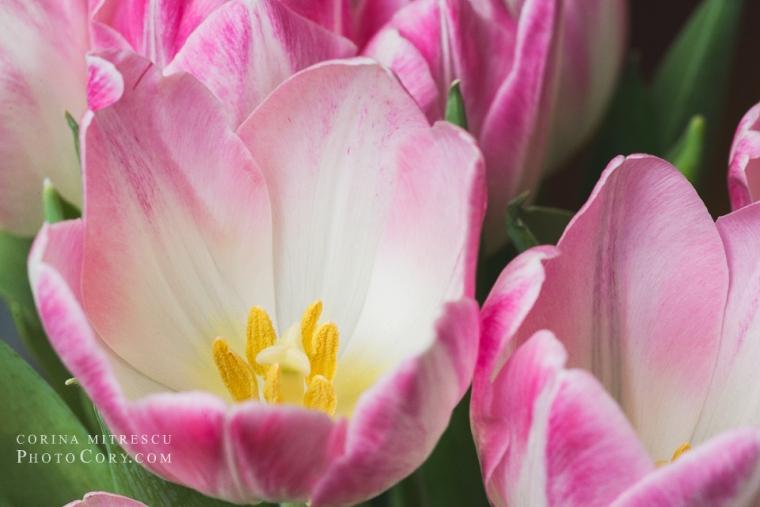opened tulips macro