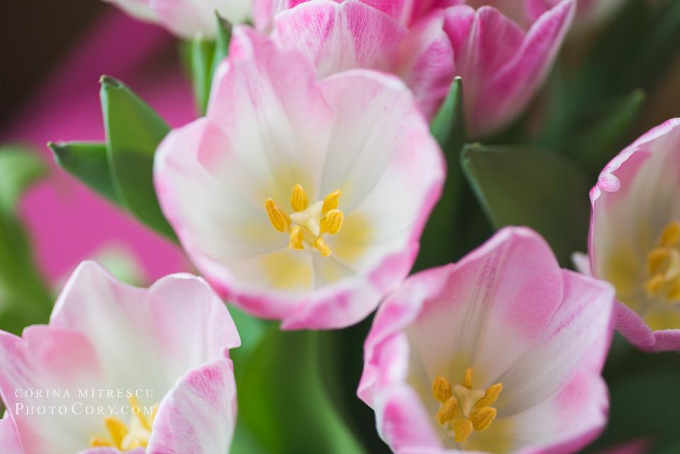 opened tulips