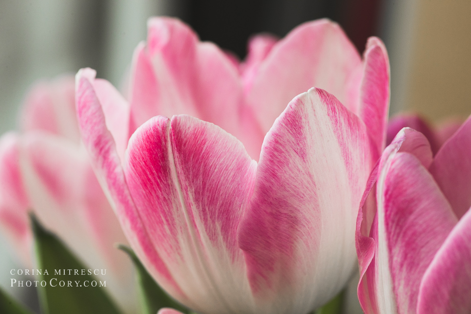 romantic pink tulips