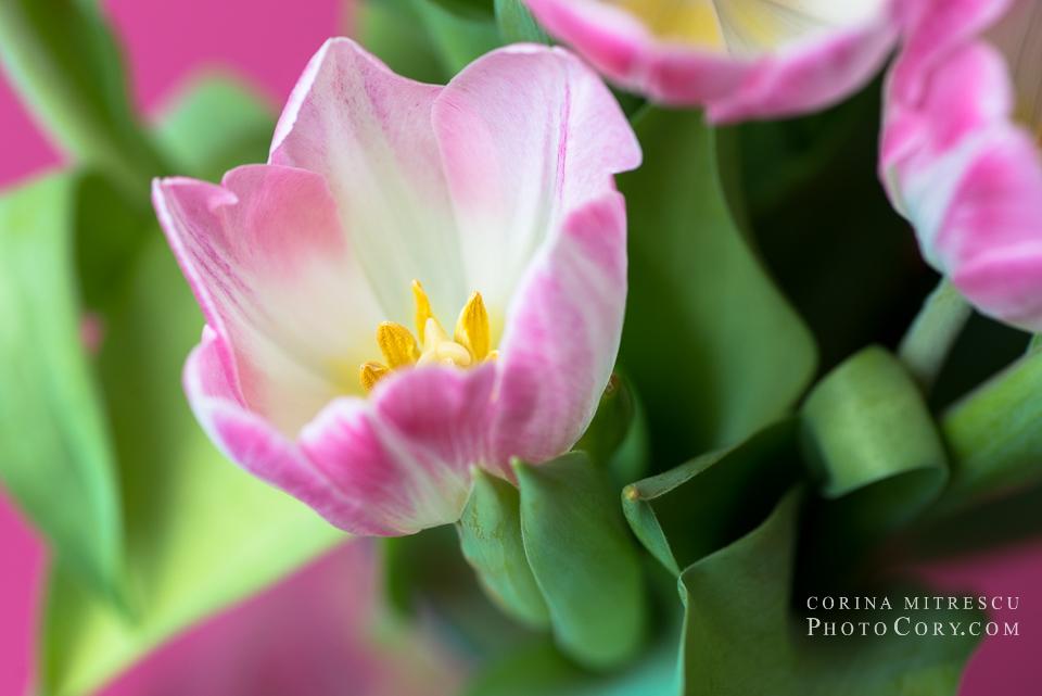 tulips macro (2)