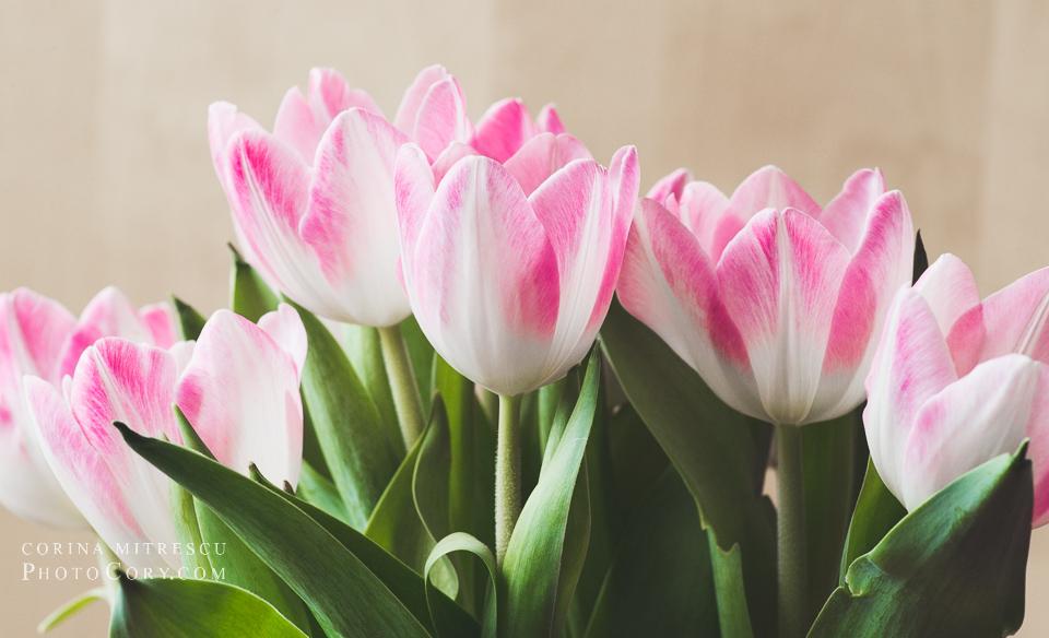 tulips macro