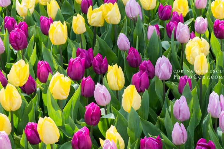 colored tulips holland
