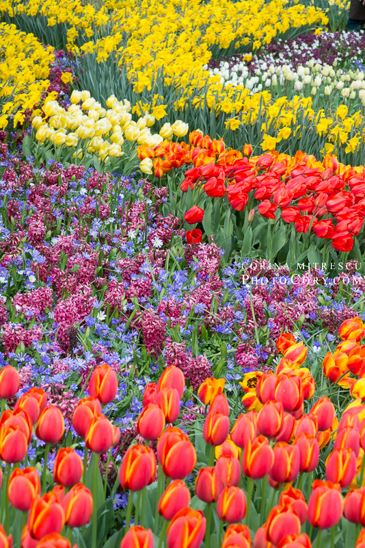 many flowers in keukenhof garden
