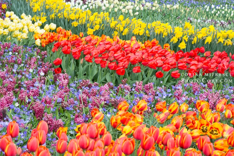 many tulips netherlands