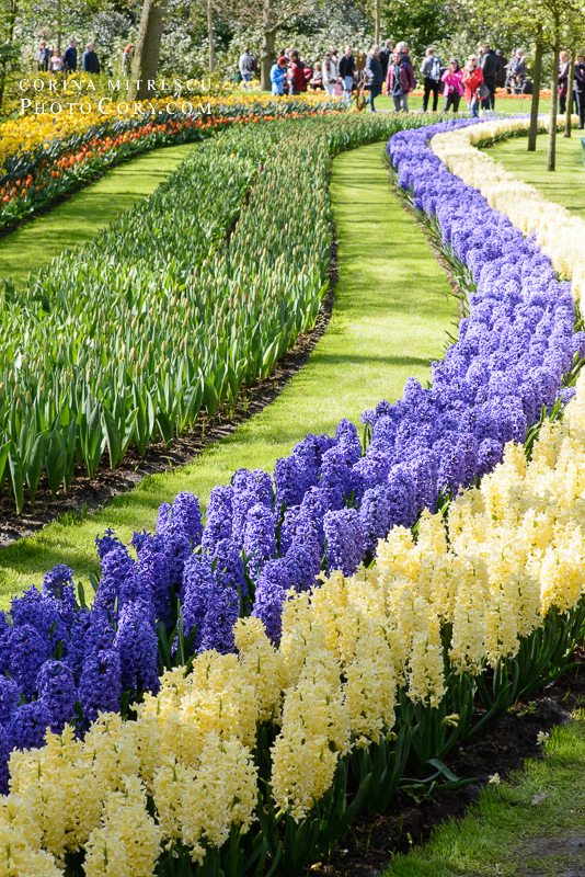 rows of hiacynts in keukenhof netherlands
