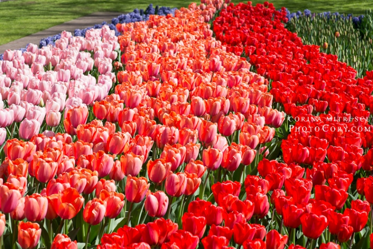 tulips keukenhof
