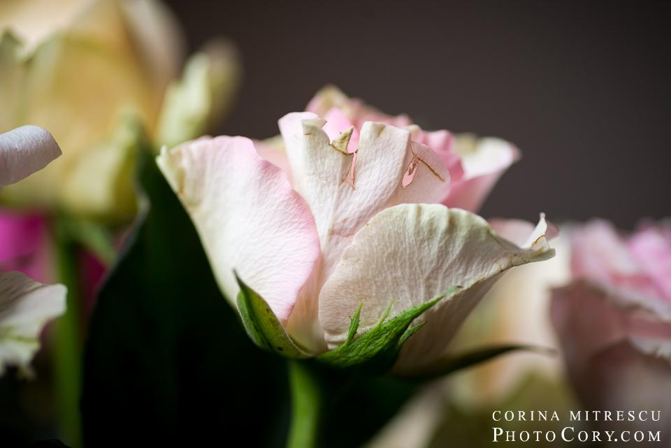 trandafir roz macro