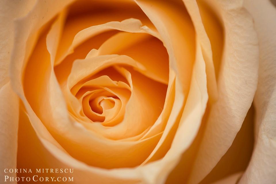 macro-trandafir-galben