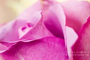 macro-trandafir