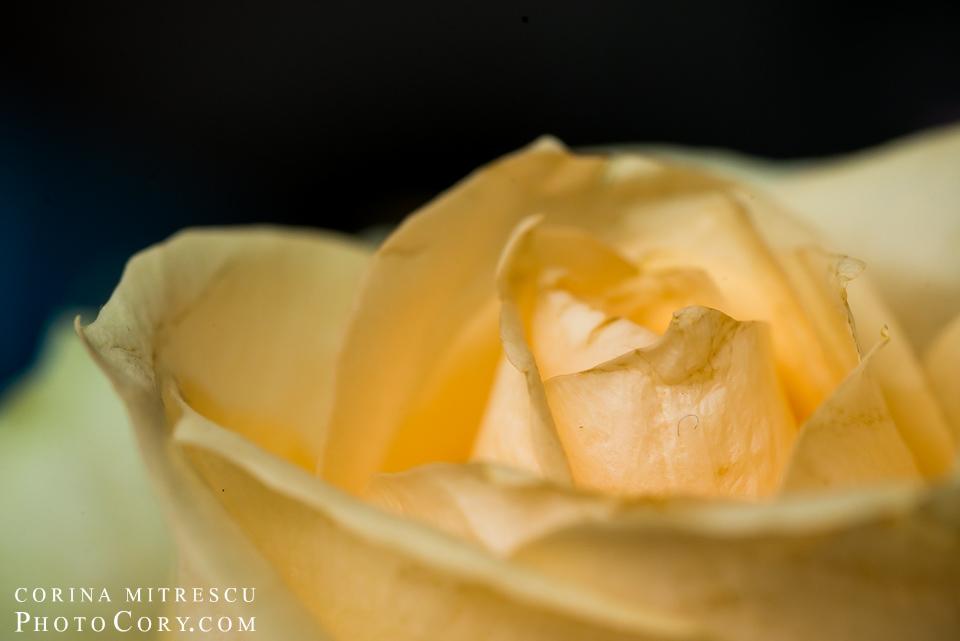 trandafir-galben-macro-tokina-100-mm-nikon
